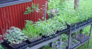 Pioneer plant species propagation