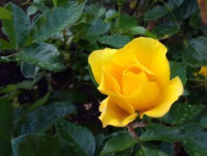 Yellow rose Books and sacred texts image